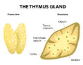 Thumys gland anatomy thymus structure vector diagram lies in the thoracic cavity just above the heart it secretes thymosin Royalty Free Stock Photos