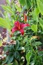 Thunberg lily Royalty Free Stock Photo