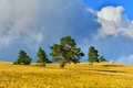 Thunderstorm field pine trees on summer and clouds above Royalty Free Stock Image