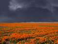 Thunderstorm poppy field looming over a bright california Royalty Free Stock Photos