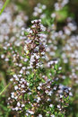 Thyme blossom Royalty Free Stock Photography