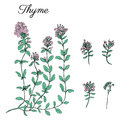 Thyme branch hand drawn vector illustration isolated on white, Natural cooking doodle spicy ingredients, Healing herb