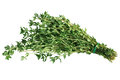 Thyme bundle of fresh isolated on white background Royalty Free Stock Photo