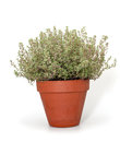 Thyme in clay pot isolated on white background Royalty Free Stock Photo