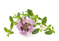 Thyme flowers aromatic herb in bloom Stock Photos