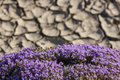 Thyme flowers a bush of purple on arid land Stock Photography