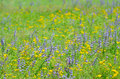 Thyme flowers on field in summer time Royalty Free Stock Images
