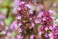 Thyme flowers little purple thymus serpyllum floral background Stock Photography