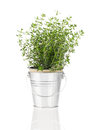 Thyme herb plant growing in a distressed pewter pot over white background Royalty Free Stock Photos