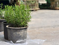 Thyme in pots wild displayed for sale Stock Photo