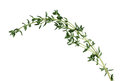Thyme sprig of fresh leaf isolated on white background Royalty Free Stock Images