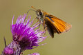 Thymelicus sylvestris small skipper on a flower cirsium sp Stock Photos