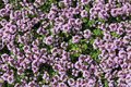 Thymus serpyllum flowering plant floral background Stock Image