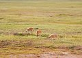 Tibetan antelopes Royalty Free Stock Photography