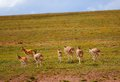 Tibetan antelopes Stock Photography
