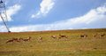 Tibetan antelopes Royalty Free Stock Photos