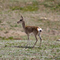 Tibetan gazelle Royalty Free Stock Photo