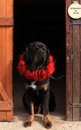 Tibetan Mastiff in the doorway Royalty Free Stock Photography