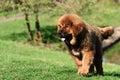 Tibetan Mastiff puppy Royalty Free Stock Photo