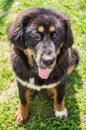 The tibetan mastiff puppy is one of oldest working breeds of dogs that were guard dog in Stock Images
