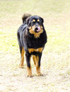 Tibetan mastiff a young beautiful black and tan gold puppy dog standing on the grass sticking its tongue out do khyi dogs are Royalty Free Stock Photos