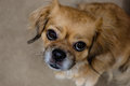 Tibetan spaniel dog looking up