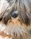Tibetan terrier close up portrait of Stock Photo