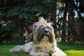Tibetan terrier dog lying on lawn Stock Image