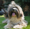 Tibetan terrier dog lying on lawn Stock Photo