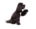 Tibetan Terrier Dog Sitting With Paw Shake Royalty Free Stock Photo
