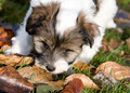 Tibetan Terrier puppy Stock Images