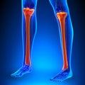 Tibia Anatomy Bones with Ciculatory System Royalty Free Stock Photo