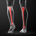 Tibia d render illustration back view Stock Photography