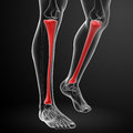 Tibia d render illustration front view Royalty Free Stock Image