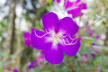 Tibouchina flower Royalty Free Stock Photo