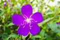 Tibouchina Royalty Free Stock Photo