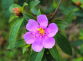 Tibouchina, Glory Bush Royalty Free Stock Photo