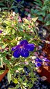Tibouchina semidecandra flower closeup. Royalty Free Stock Photo