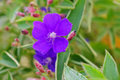Tibouchina semidecandra, the princess flower Royalty Free Stock Photo