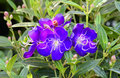 Tibouchina sp, Melastomataceae, tropical America Royalty Free Stock Photo