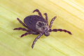 Tick on dry leaf Royalty Free Stock Photo