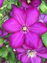 Tickle me pink flower summer Royalty Free Stock Photo