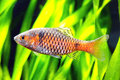 Ticto barb twospot fish pethia in the planted aquarium Stock Photo