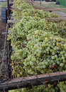 A tier of grapes emptied buckets sun muscat rest on wire mesh ready to be spread evenly Royalty Free Stock Images