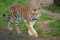 Royalty Free Stock Photography Tiger