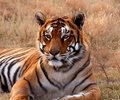 Image : Tiger sun girl lion