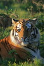 Tiger in Africa  Royalty Free Stock Photo