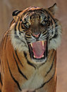 Tiger angry showing teeth to viewer Royalty Free Stock Image