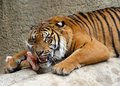 Tiger asian chewing on large bone Stock Image