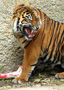 Tiger asian growling and protecting large bone Stock Photos